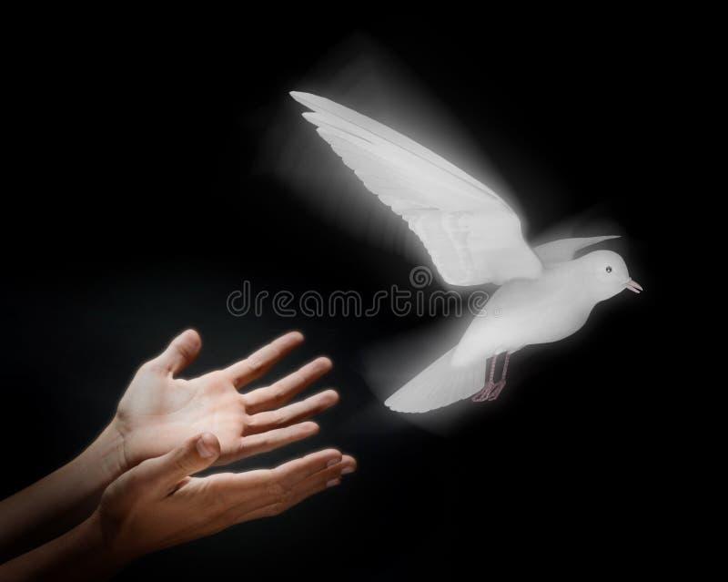 выпускать dove стоковые фотографии rf