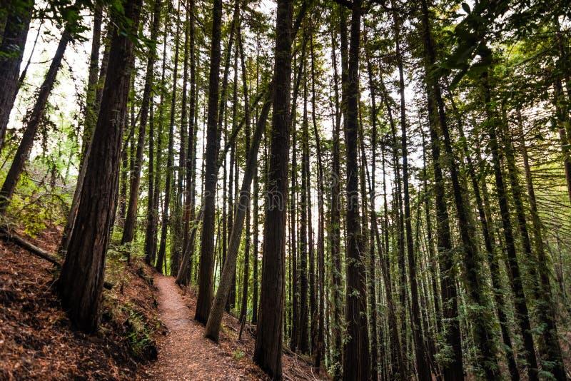 Выравнивать взгляд пешей тропы через лес деревьев redwood в парке графства Montalvo виллы, Saratoga, область San Francisco Bay, стоковое фото