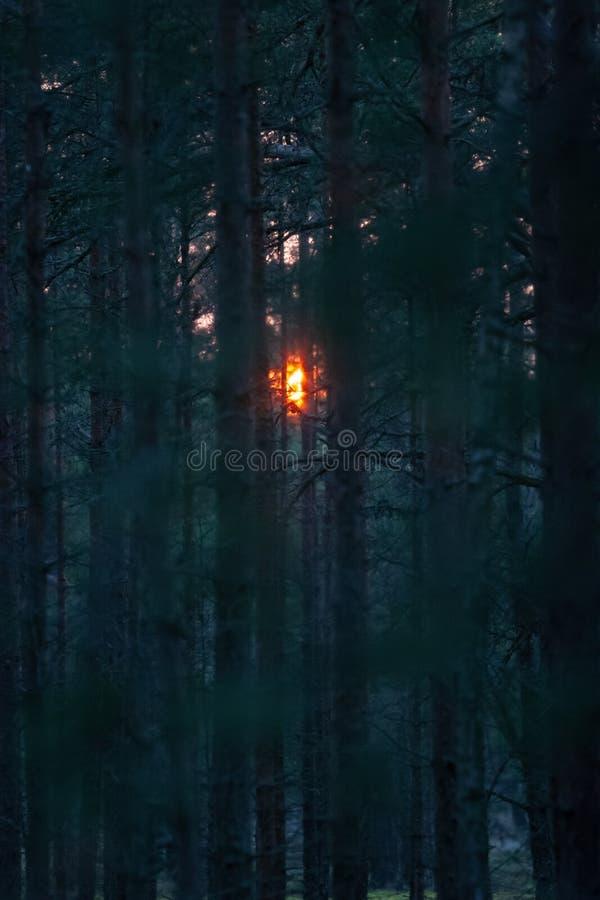 Выравниваясь оранжевые блески солнца через хвойные деревья стоковые изображения