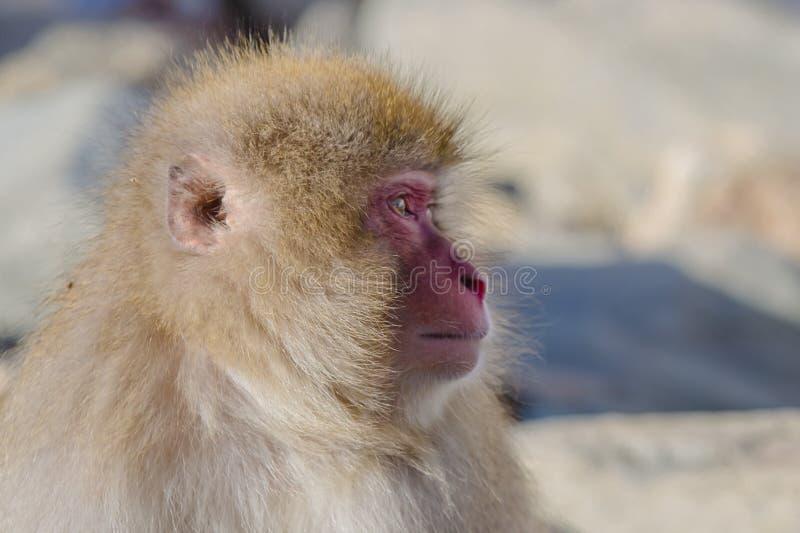 Выражения обезьяны снега: Перемещающся прочь, профиль стоковое изображение rf