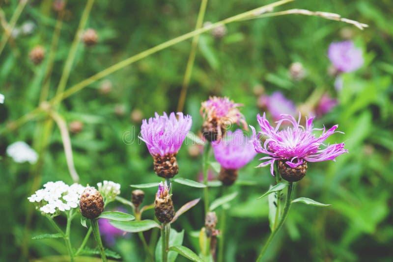 Вырастите пурпурные цветки завода Lycopifolia Serratula стоковые изображения rf