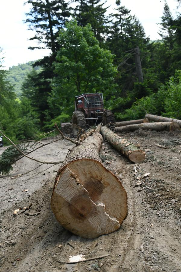 Вырезывание дерева в лесе стоковые фотографии rf