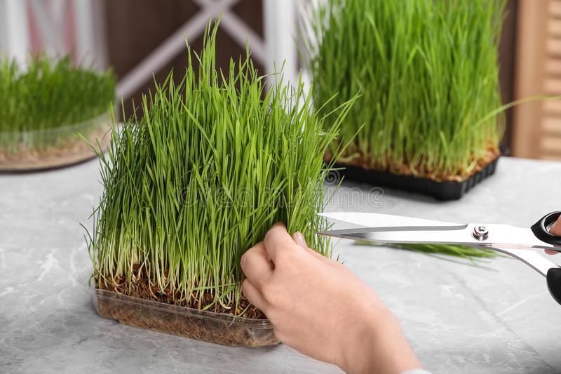 Вырезывание женщины пускало ростии трава пшеницы с ножницами на таблице стоковые фотографии rf