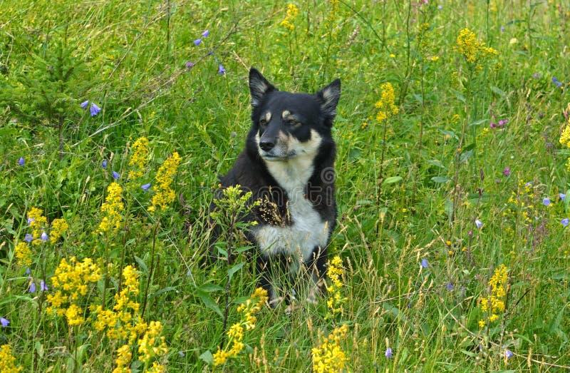 Выследите пастуха Lapinporokoira Lapponian или собаку северного оленя лапландца или Lapsk Vallhund среди трав и цветков поля Ланд стоковые изображения rf