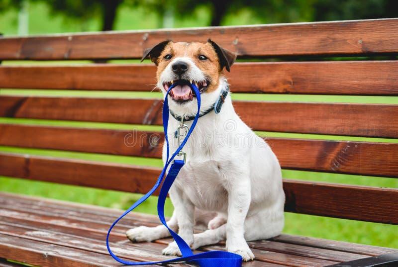 Выследите приглашать для прогулки вне сидеть на стенде и держать поводок в рте стоковая фотография rf