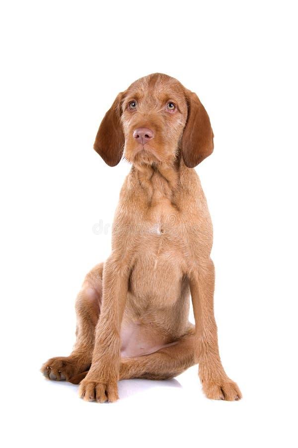 выследите vizsla щенка стоковое фото