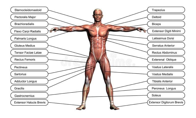 Высокая принципиальная схема разрешения или схематическая анатомия человека 3D иллюстрация вектора