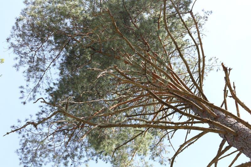 Высокая сосна в голубом небе стоковое изображение rf