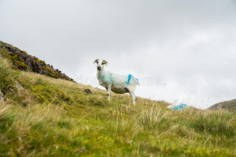 Высокая страна обрабатывая землю горы Slieve Mish, Ирландия стоковое фото rf