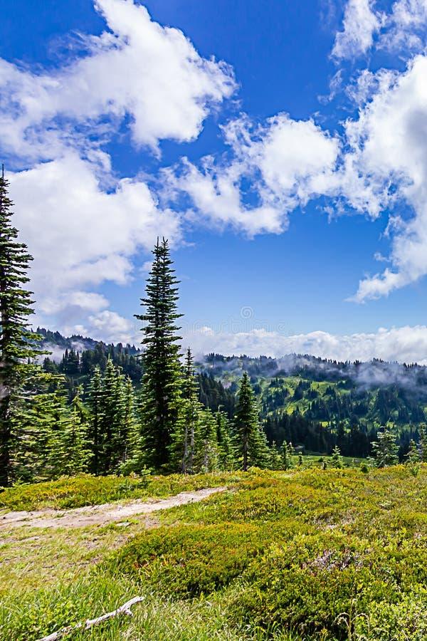 высокие деревья в собирать над высокогорным лугом на Mount Rainier стоковые фотографии rf