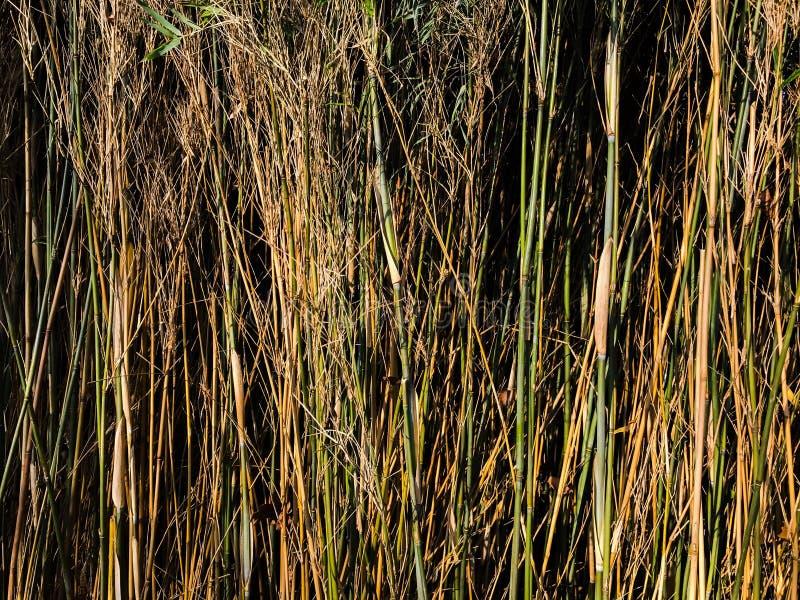 Высокие коричневые зеленые тростники стоковые изображения rf