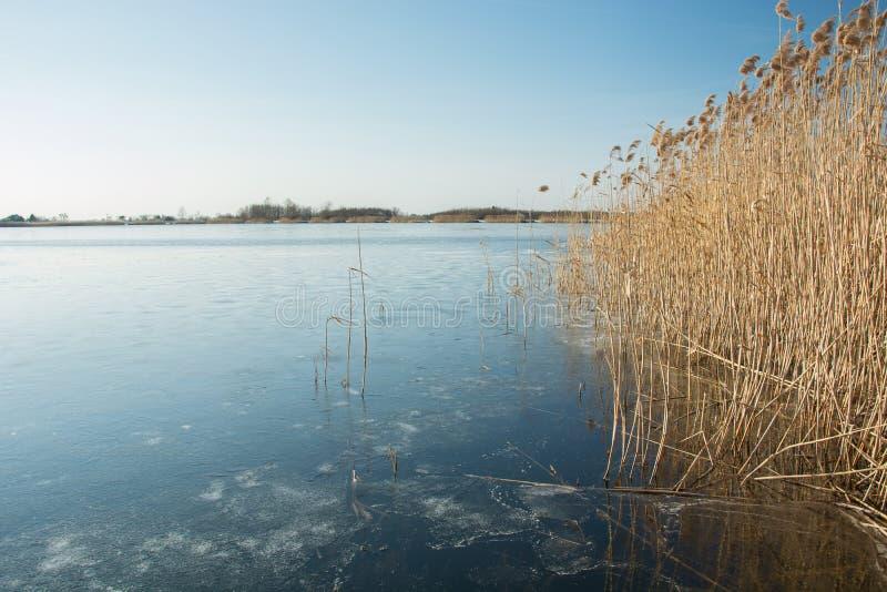 Высокие тростники на замороженном озере, горизонте и голубом небе стоковое фото