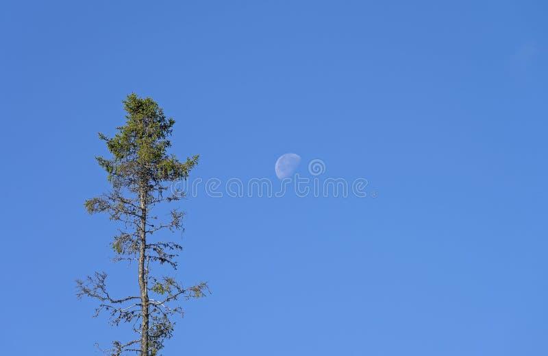 Высокий спрус против голубого неба с луной стоковая фотография