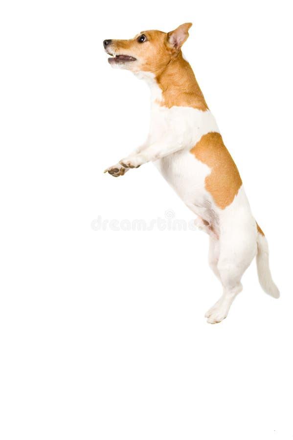 высокий jack скача russel стоковое изображение