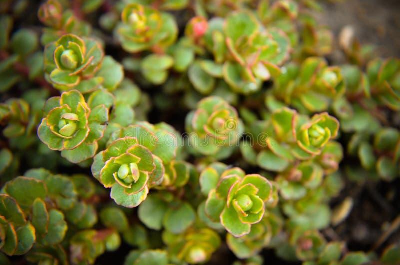 Высокогорная группа paniculata saxifraga Saxifrage стоковая фотография