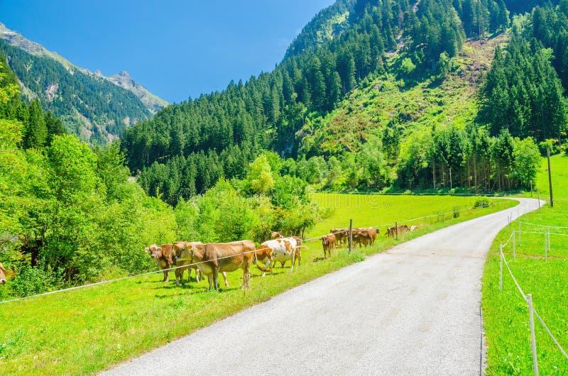 Высокогорная дорога ландшафта, зеленые выгоны и коровы стоковые изображения rf