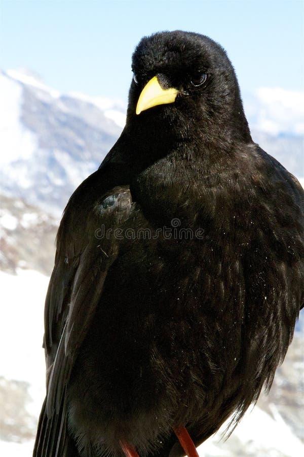 высокогорная чернота птицы стоковая фотография rf