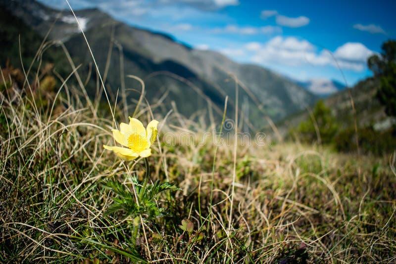 Высокогорное apiifolia alpina Pulsatilla цветка волосатое постоянное с одиночным желтым цветом в горах, ПИРЕНЕИ АНДОРРЕ стоковая фотография rf