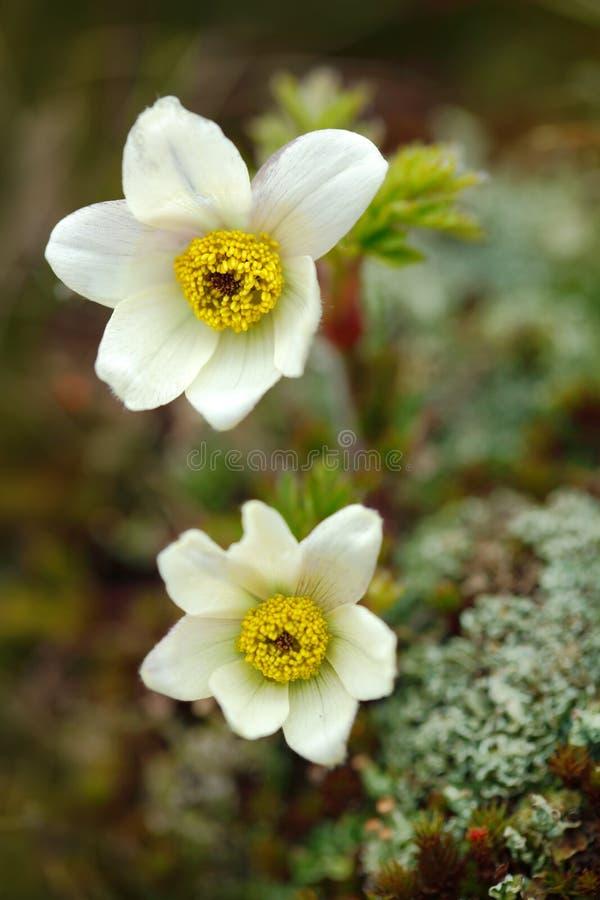 Высокогорное Pasqueflower или высокогорная ветреница, alpina Pulsatilla, белое дикое растение, 2 цветеня, в среду обитания природ стоковое фото rf