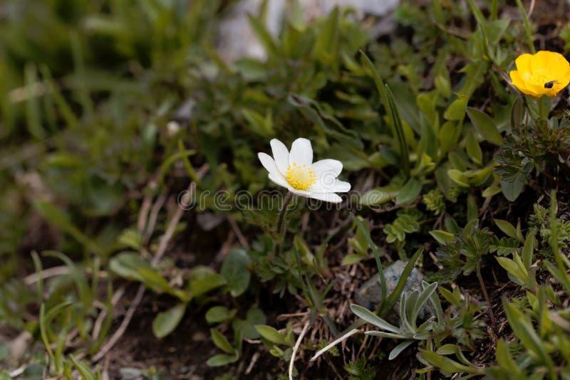 Высокогорное ssp alpina Pulsatilla pasqueflower austraica стоковые фото