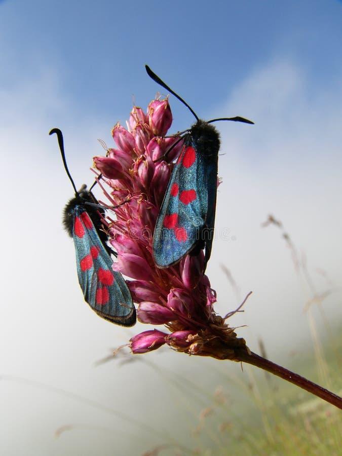 высокогорные бабочки стоковая фотография rf