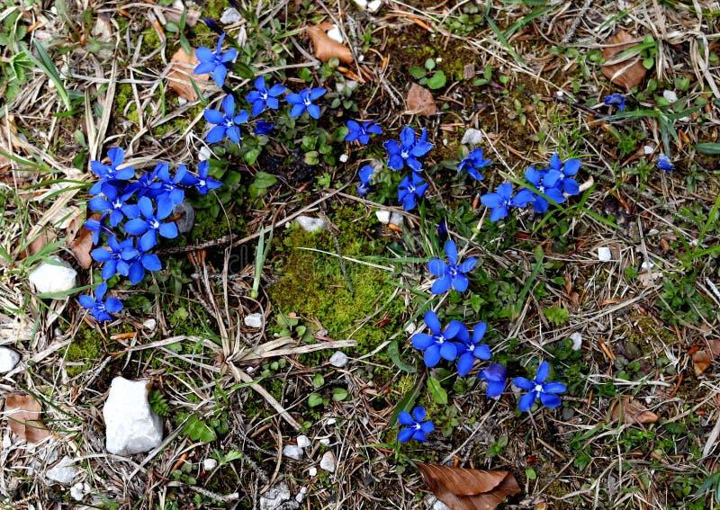 Высокогорные wildflowers горечавки стоковое изображение