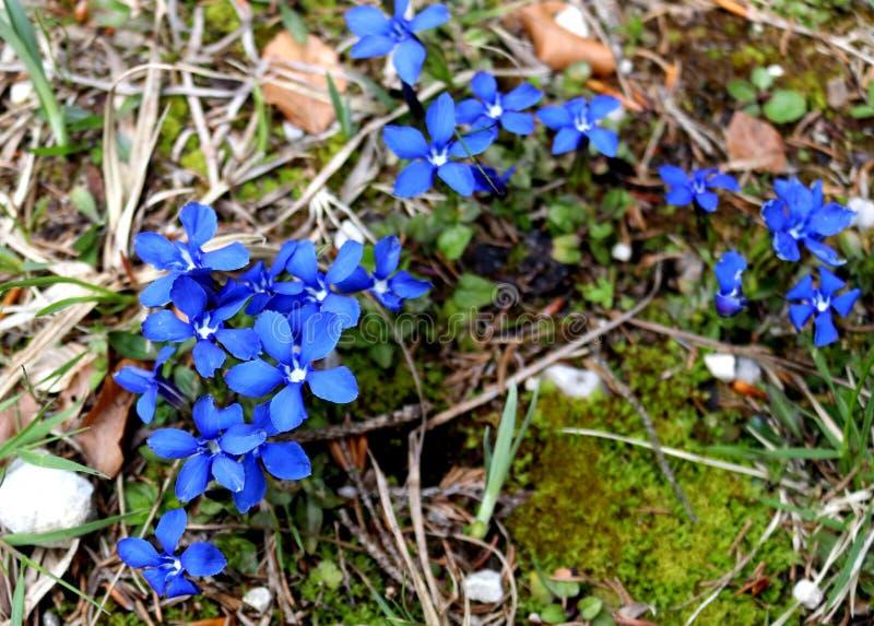 Высокогорные wildflowers горечавки r стоковая фотография