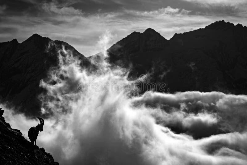 Высокогорный Ibex, ibex Capra, животные в природе трясет среду обитания, Францию Ноча в высокой горе Силуэты животных с темным ве стоковые изображения