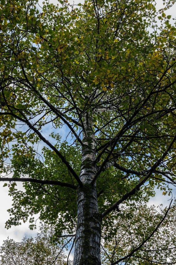 Высокое дерево во время сезона осени с листьями изменяя цвета стоковое изображение