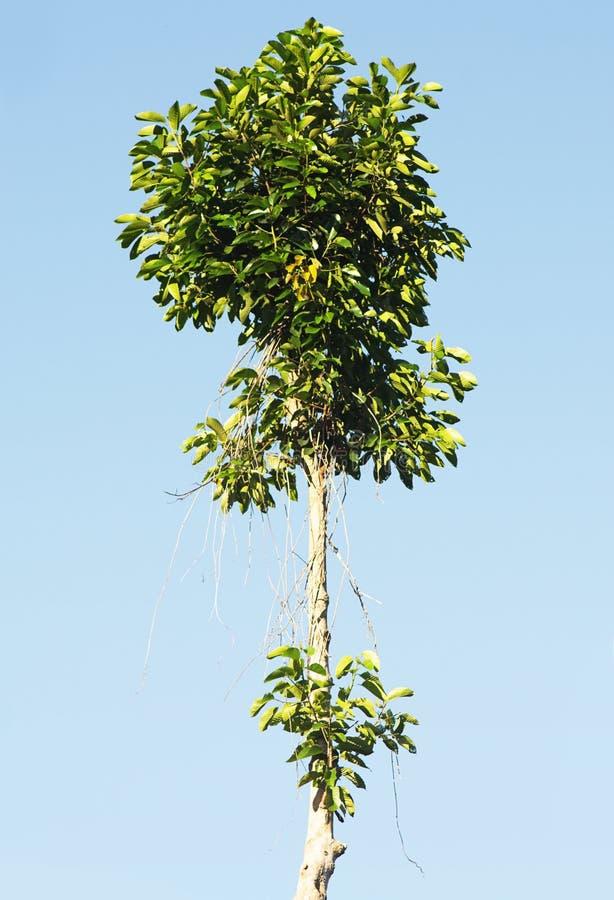 Высокое дерево на голубом небе стоковые фотографии rf