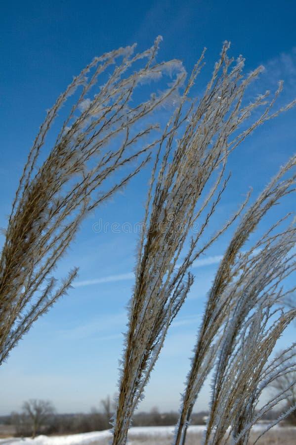 Высокорослая орнаментальная трава в зиме стоковое изображение rf