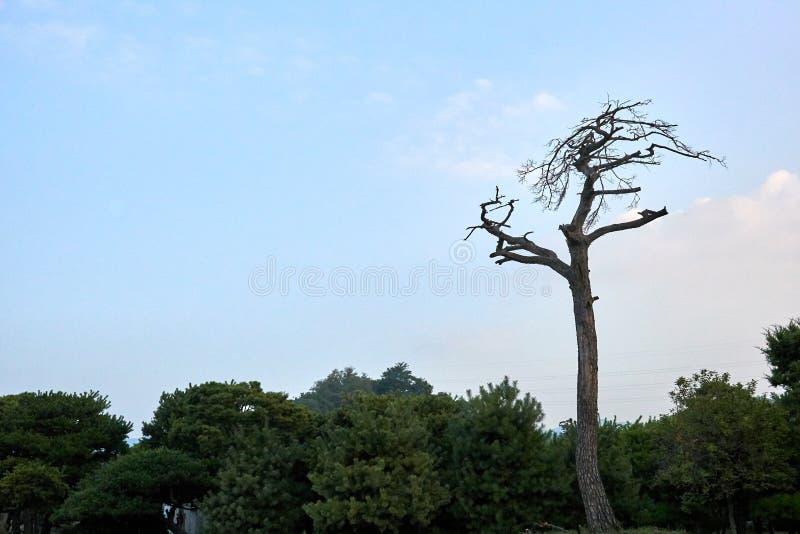 Высокорослая сосна без листьев стоя самостоятельно на лесе в Jechun, Южной Корее стоковое фото rf