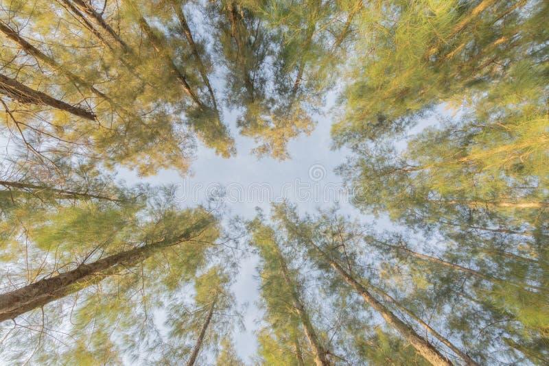 Высокорослая сосна в простирании леса до неба стоковые фото