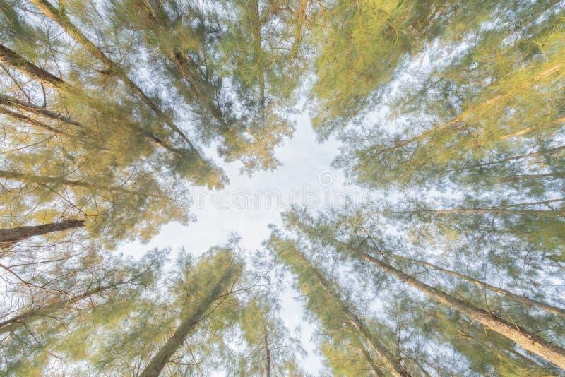 Высокорослая сосна в простирании леса до неба стоковые изображения