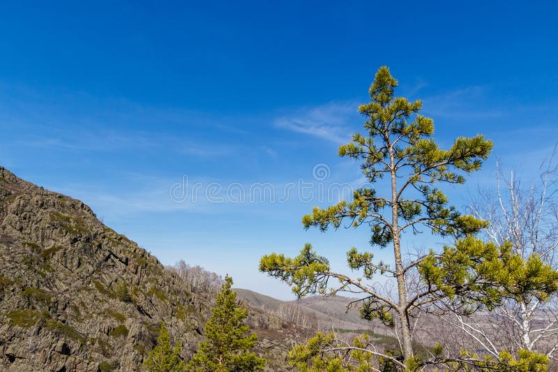 Высокорослая сосна на предпосылке большой горы стоковые изображения