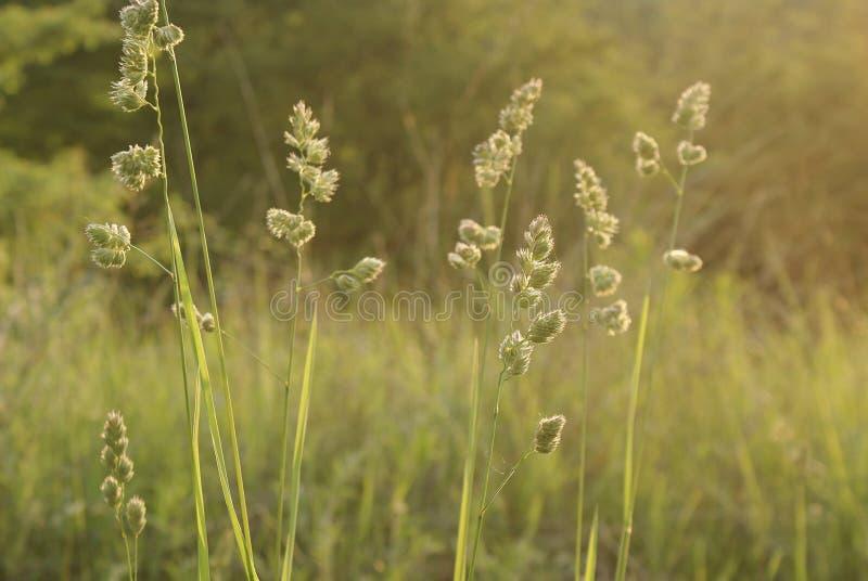 Высокорослая трава на запачканной предпосылке зеленой природы стоковое фото rf