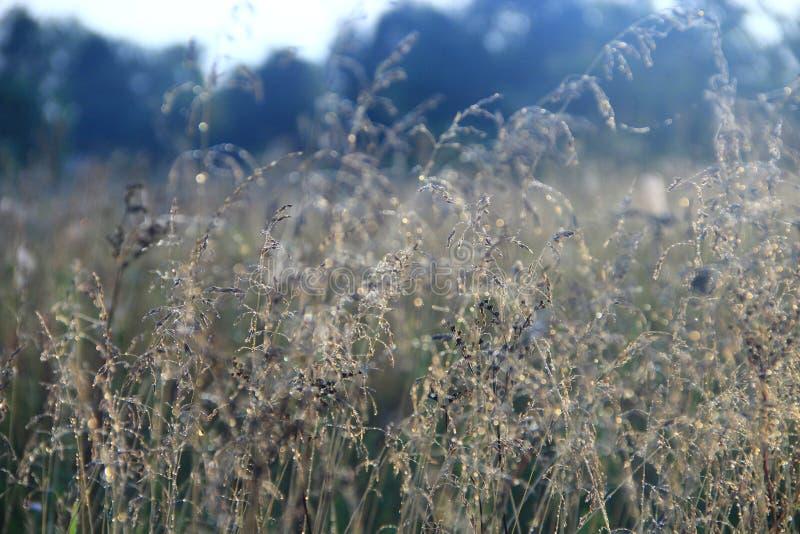 Высокорослая трава покрытая с росой на восходе солнца Сухая трава с росой на зоре стоковое изображение