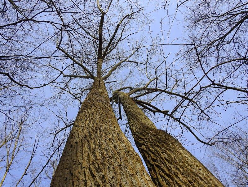 Высокорослые близнецы дерева тюльпана в лесе Новой Англии стоковая фотография rf