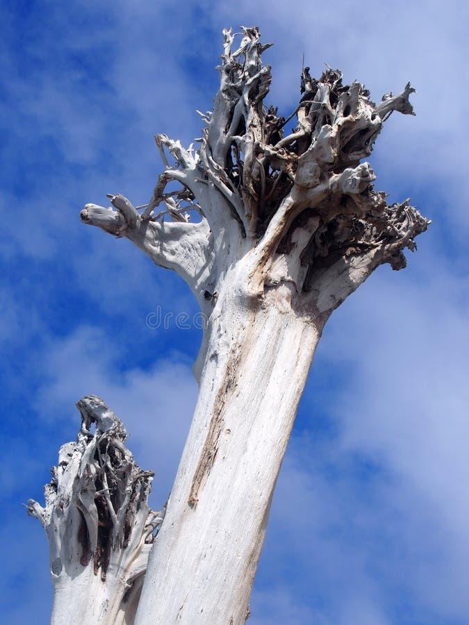 Высокорослые сильные белые мертвые деревья деревьев в ярком солнечном свете против облаков и голубого неба стоковое фото