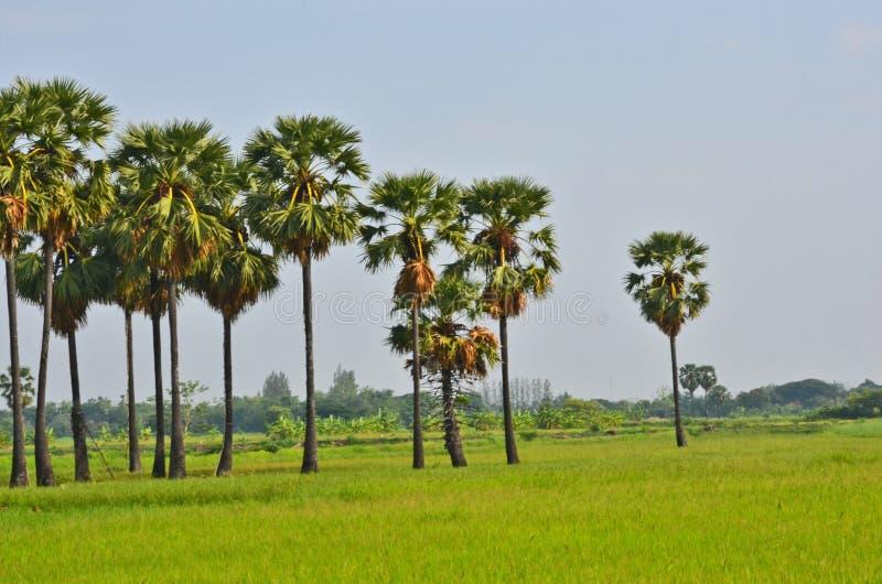 Высокорослые старые пальмы сахара в поле стоковая фотография