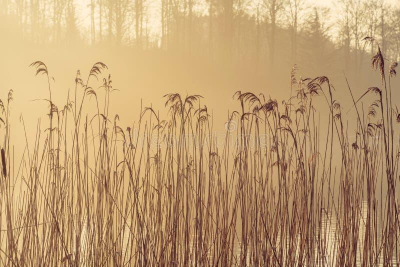 Высокорослые тростники озером в солнце утра с туманной погодой стоковое изображение rf