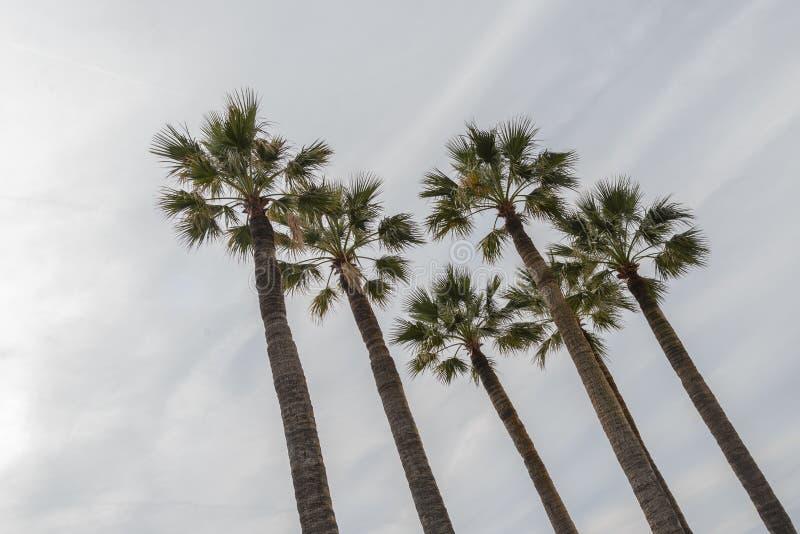 5 высокорослых ладоней изолированных с lineal небом облаков стоковая фотография