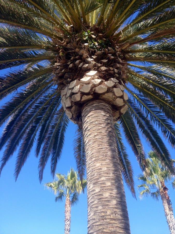 Высокорослая, густолиственная пальма стоковые фотографии rf