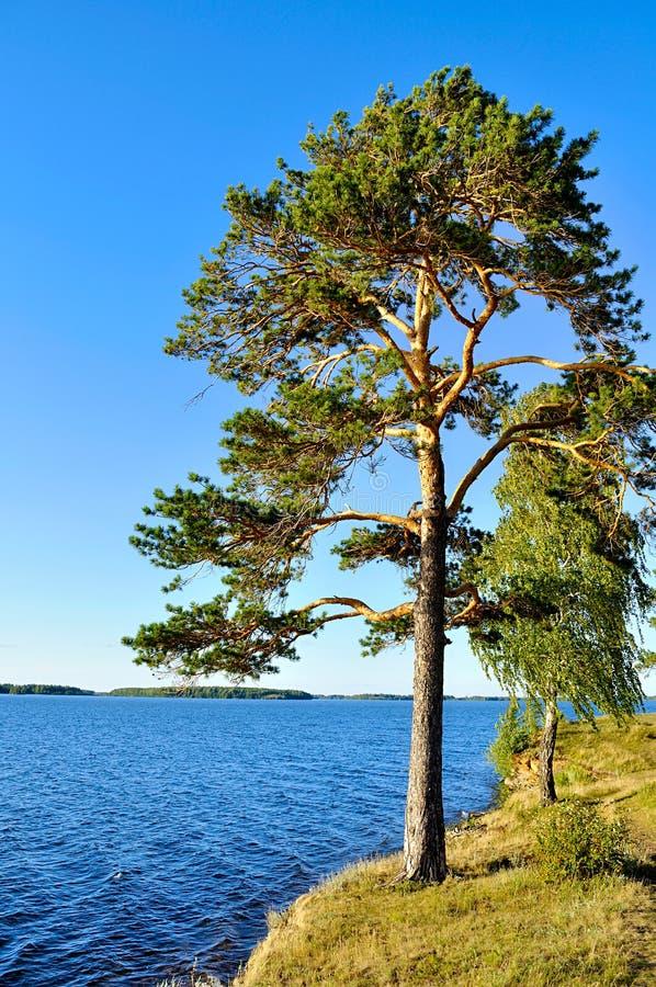 Высокорослая распространяя сосна стоя на крутой скале на озере в южном Урале, России Irtyash стоковые изображения