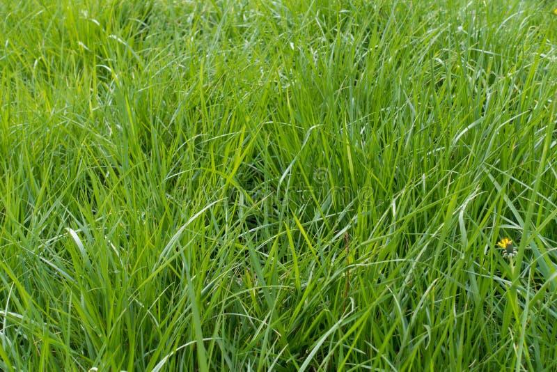 Высокорослая сочная зеленая трава весной стоковые изображения rf