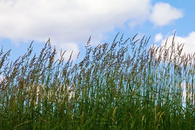 Высокорослая трава на предпосылке голубого неба стоковое фото rf