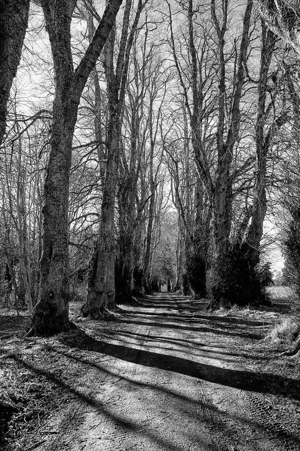 Высокорослые деревья бука чуть-чуть в зиме mono стоковые изображения
