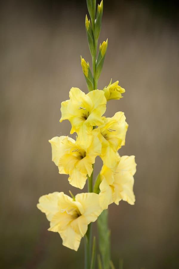 Высокорослые желтые гладиолусы цветка против приглушенной предпосылки стоковое фото