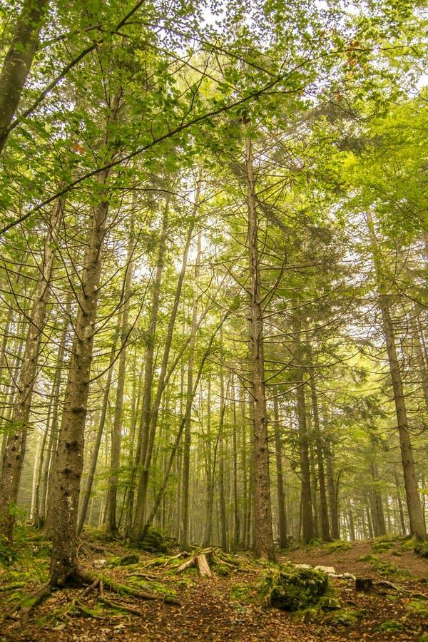 Высокорослые тонкие зеленые деревья в лесе стоковое фото