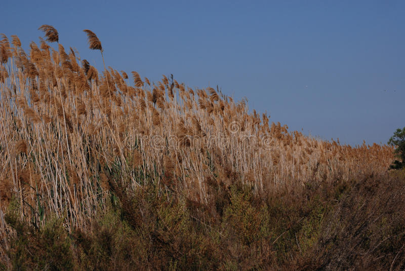 Высокорослые травянистые тростники растя в Испании стоковое изображение